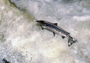 Understanding the decline of Atlantic salmon catches in Scotland
