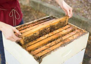'Intensive' beekeeping not to blame for common bee diseases