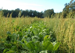 Not all weeds are equal – scientists show wildlife refuges on farms need careful placement