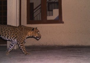 The Leopard that Learnt from the Cat