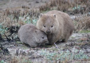 New treatment programme offers hope for controlling wombat mange