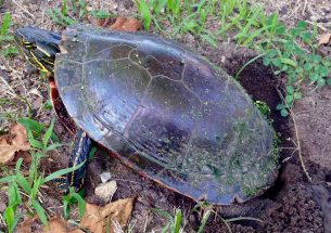 New study could reset how scientists view sex determination in painted turtle populations