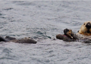 Indigenous voices reveal key strategies for navigating the challenging return of sea otters