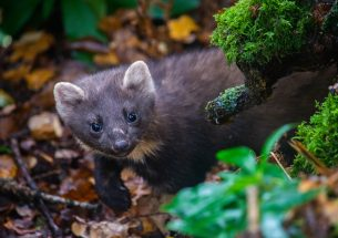 Research shows recovering pine marten population benefits red squirrels, but the grey squirrel still poses a problem in urban areas