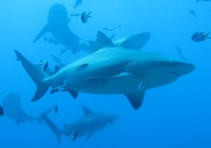"Shark ""sea lanes"" need protecting"