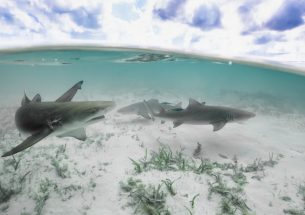 Lemon sharks – live fast, die young