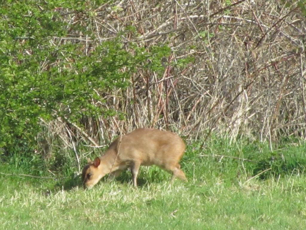 Muntjac deer arrived in Wytham in 1967 (© K. Kirby)