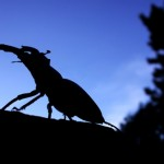 Male Stag Beetle. Copyright Deborah Harvey