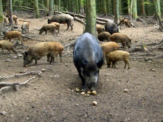 Wild Boar (Photo: Maigheach-gheal)